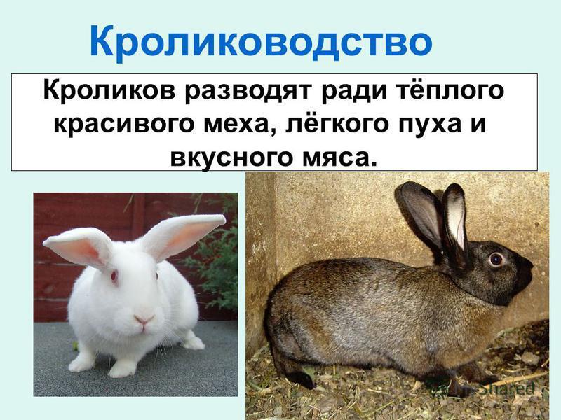 Кролиководство Кроликов разводят ради тёплого красивого меха, лёгкого пуха и вкусного мяса.