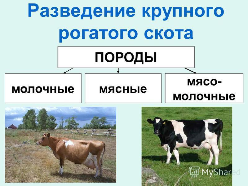 Разведение крупного рогатого скота ПОРОДЫ молочные мясные мясо- молочные