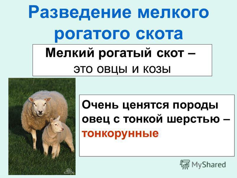 Разведение мелкого рогатого скота Мелкий рогатый скот – это овцы и козы Очень ценятся породы овец с тонкой шерстью – тонкорунные