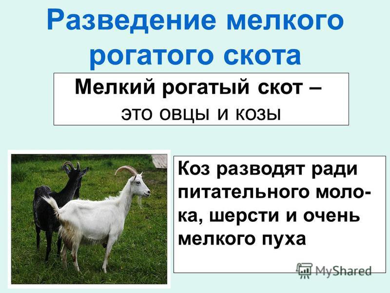 Разведение мелкого рогатого скота Мелкий рогатый скот – это овцы и козы Коз разводят ради питательного молока, шерсти и очень мелкого пуха