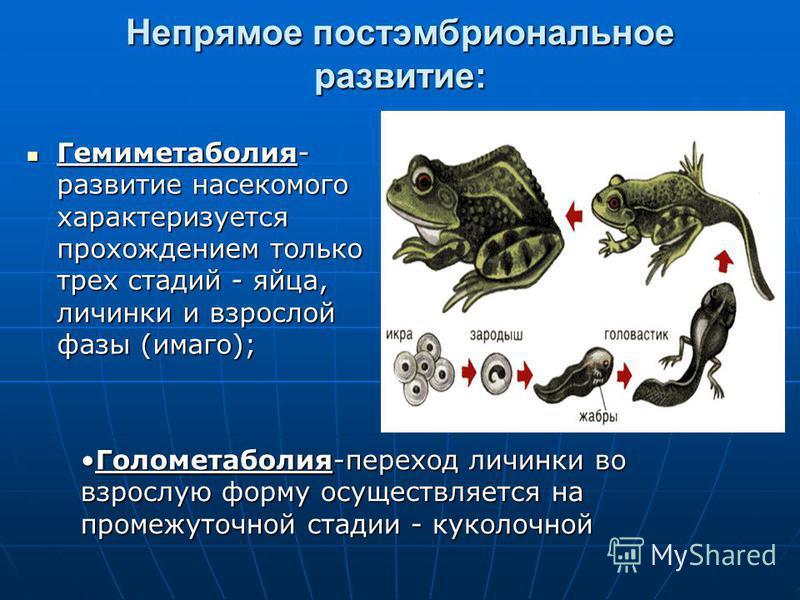 Непрямое постэмбриональное развитие: Гемиметаболия- развитие насекомого характеризуется прохождением только трех стадий - яйца, личинки и взрослой фазы (имаго); Гемиметаболия- развитие насекомого характеризуется прохождением только трех стадий - яйца