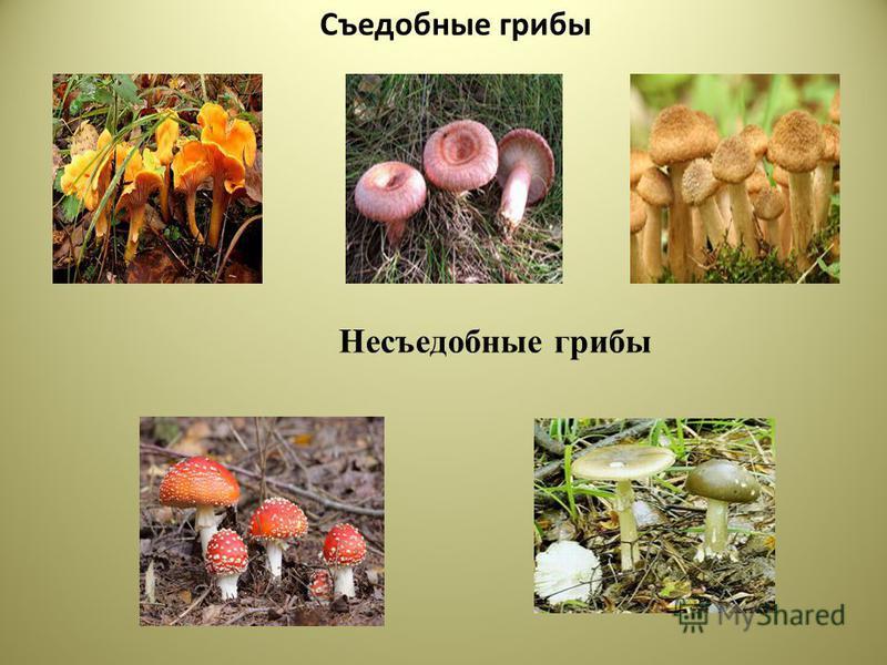 Съедобные грибы Несъедобные грибы