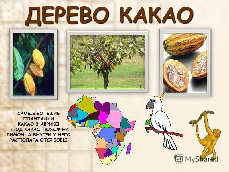ДЕРЕВО КАКАО САМЫЕ БОЛЬШИЕ ПЛАНТАЦИИ КАКАО В АФРИКЕ! ПЛОД КАКАО ПОХОЖ НА ЛИМОН, А ВНУТРИ У НЕГО РАСПОЛАГАЮТСЯ БОБЫ