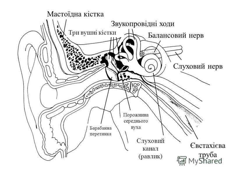 Мастоїдна кiстка Барабанна перетинка Слуховий нерв Євстахiєва труба Три вушнi кiстки Слуховий канал (равлик) Звукопровiднi ходи Балансовий нерв Порожнина середнього вуха