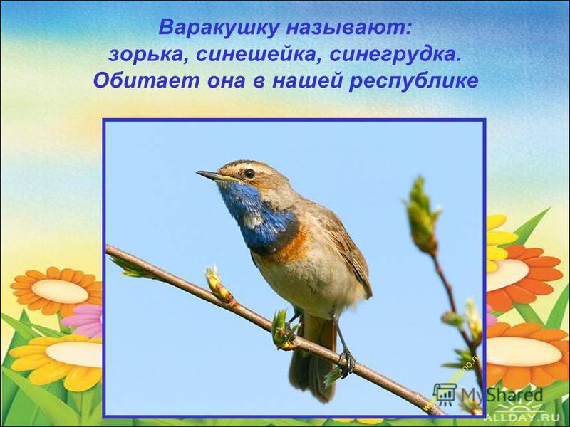 Варакушку называют: зорька, синешейка, сине грудка. Обитает она в нашей республике