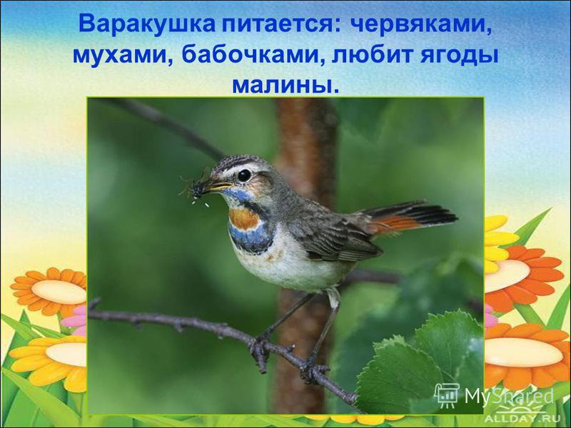 Варакушка питается: червяками, мухами, бабочками, любит ягоды малины.