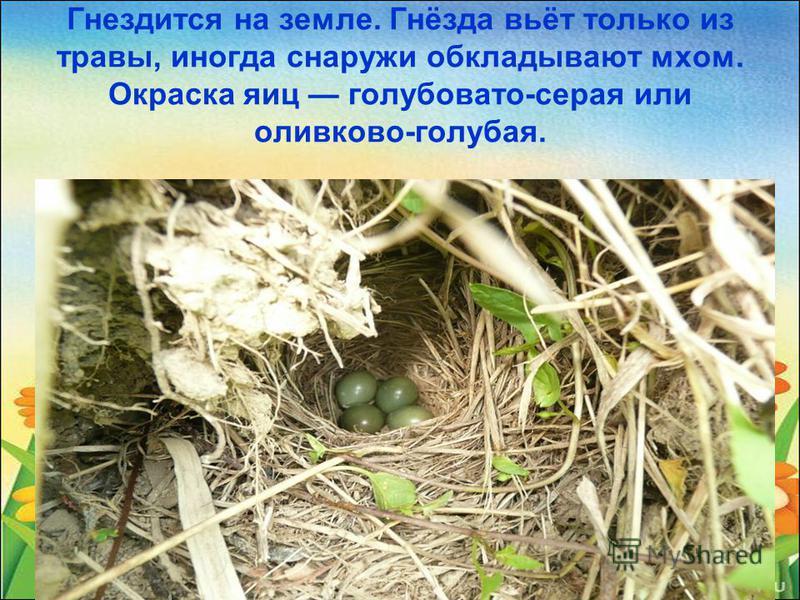 Гнездится на земле. Гнёзда вьёт только из травы, иногда снаружи обкладывают мхом. Окраска яиц голубовато-серая или оливково-голубая.