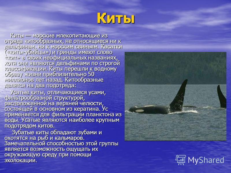Киты Киты морские млекопитающие из отряда китообразных, не относящиеся ни к дельфинам, ни к морским свиньям. Касатки («киты-убийцы») и гринды имеют слово «кит» в своих неофициальных названиях, хотя они являются дельфинами по строгой классификации. Ки