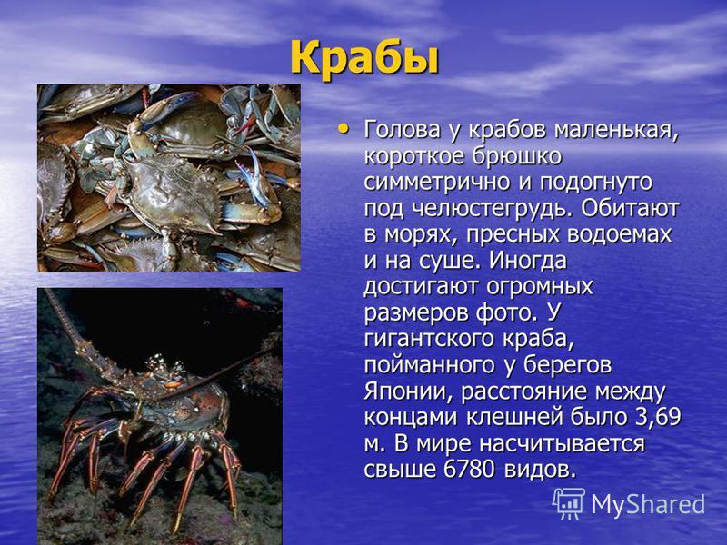 Крабы Голова у крабов маленькая, короткое брюшко симметрично и подогнуто под челюсть грудь. Обитают в морях, пресных водоемах и на суше. Иногда достигают огромных размеров фото. У гигантского краба, пойманного у берегов Японии, расстояние между конца