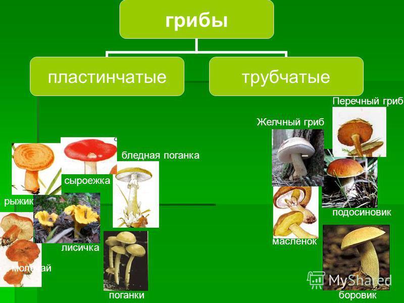 Грибы Съедобные Ядовитые На какие группы можно разбить грибы?