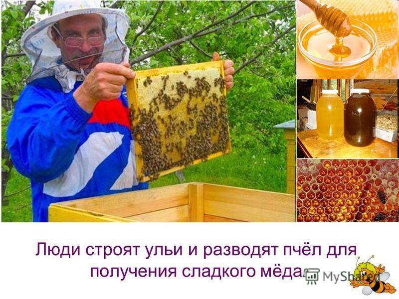 Люди строят ульи и разводят пчёл для получения сладкого мёда