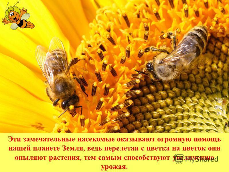 Эти замечательные насекомые оказывают огромную помощь нашей планете Земля, ведь перелетая с цветка на цветок они опыляют растения, тем самым способствуют увеличению урожая.