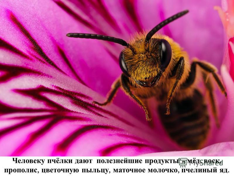 Человеку пчёлки дают полезнейшие продукты – мёд, воск, прополис, цветочную пыльцу, маточное молочко, пчел иный яд.