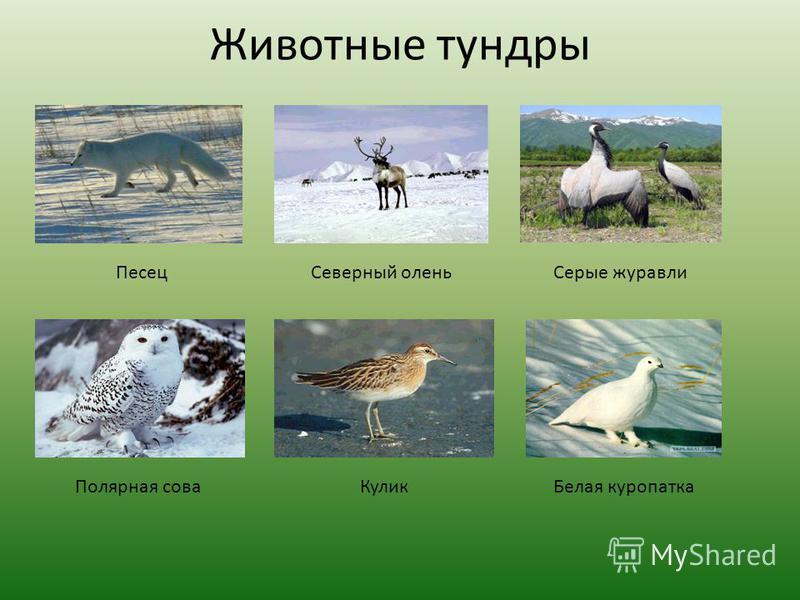 Животные тундры Песец Северный олень Серые журавли Полярная сова КуликБелая куропатка