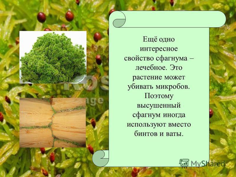 Ещё одно интересное свойство сфагнума – лечебное. Это растение может убивать микробов. Поэтому высушенный сфагнум иногда используют вместо бинтов и ваты.
