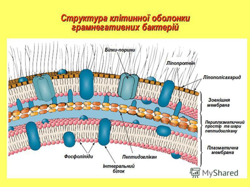 Структура клітинної оболонки грамнегативних бактерій