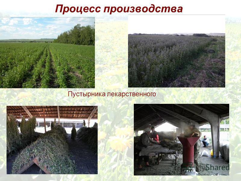 Процесс производства Пустырника лекарственного