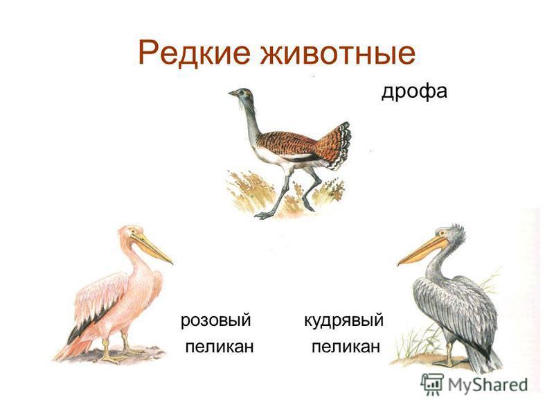 Редкие животные дрофа розовый кудрявый пеликан пеликан