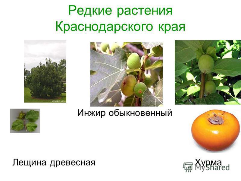 Редкие растения Краснодарского края Инжир обыкновенный Лещина древесная Хурма