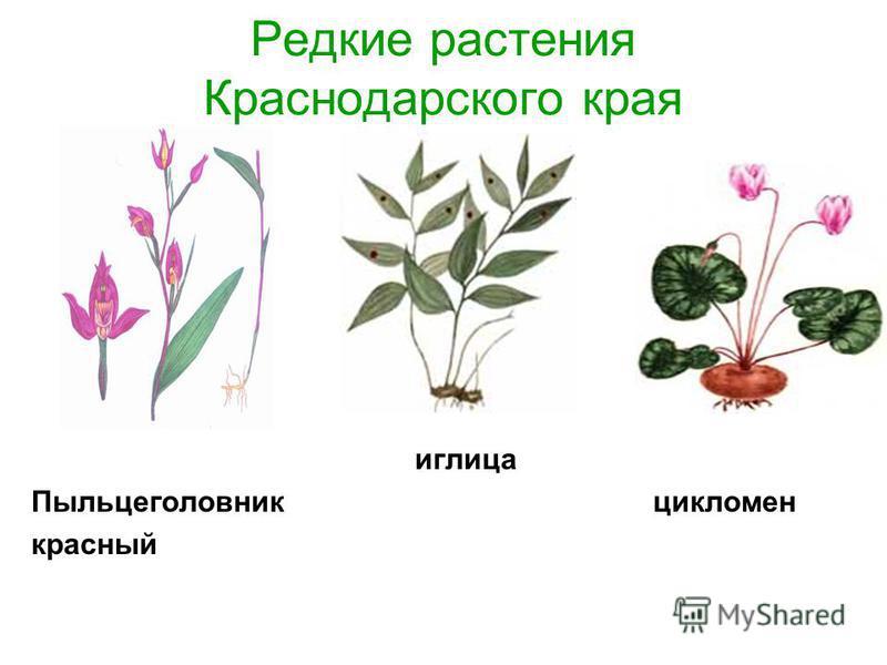Редкие растения Краснодарского края иглица Пыльцеголовник цикламен красный