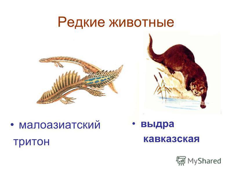 Редкие животные малоазиатский тритон выдра кавказская
