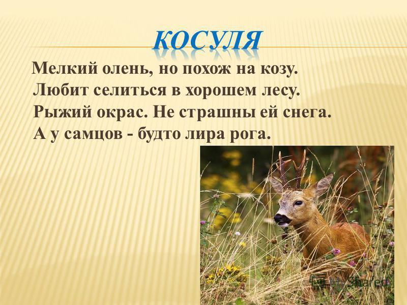 Мелкий олень, но похож на козу. Любит селиться в хорошем лесу. Рыжий окрас. Не страшны ей снега. А у самцов - будто лира рога.
