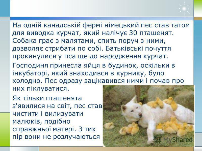 На одній канадській фермі німецький пес став татом для виводка курчат, який налічує 30 пташенят. Собака грає з малятами, спить поруч з ними, дозволяє стрибати по собі. Батьківські почуття прокинулися у пса ще до народження курчат. Господиня принесла