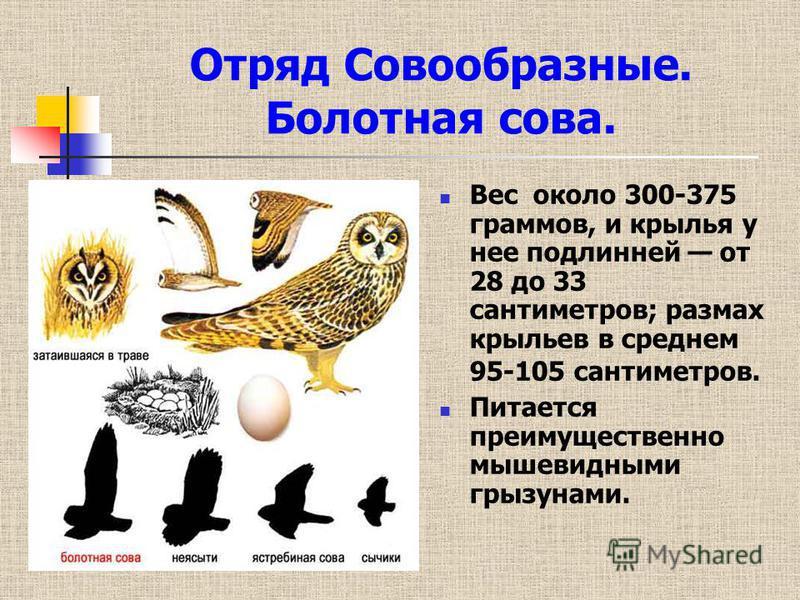 Отряд Совообразные. Болотная сова. Вес около 300-375 граммов, и крылья у нее подлинней от 28 до 33 сантиметров; размах крыльев в среднем 95-105 сантиметров. Питается преимущественно мышевидными грызунами.