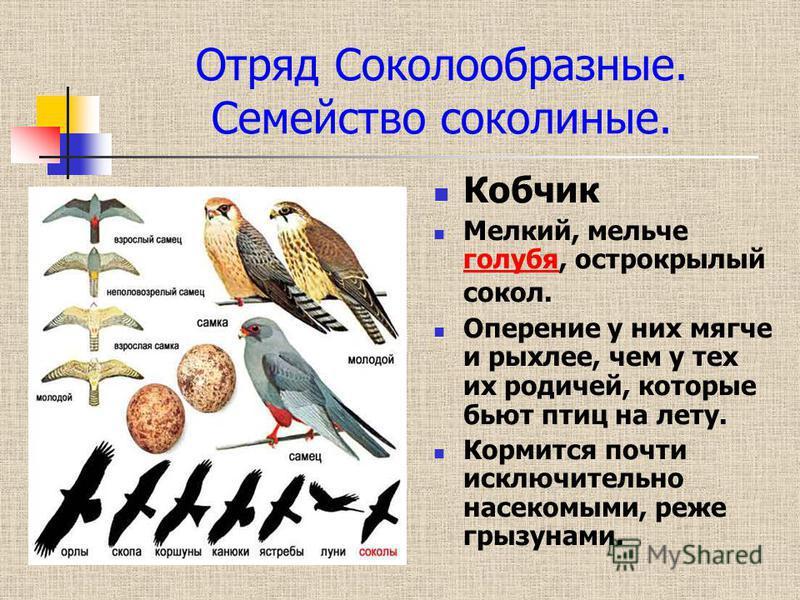 Отряд Соколообразные. Семейство соколиные. Кобчик Мелкий, мельче голубя, острокрылый сокол. голубя Оперение у них мягче и рыхлее, чем у тех их родичей, которые бьют птиц на лету. Кормится почти исключительно насекомыми, реже грызунами.