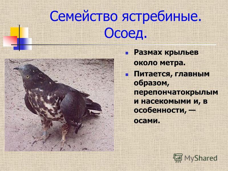 Семейство ястребиные. Осоед. Размах крыльев около метра. Питается, главным образом, перепончатокрылым и насекомыми и, в особенности, осами.