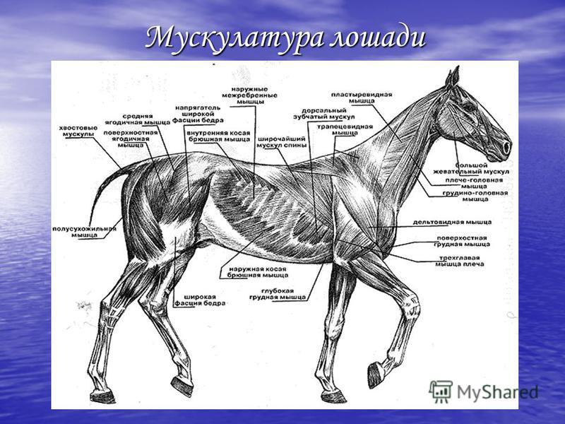Мускулатура лошади