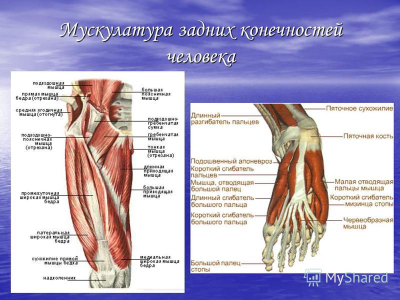 Мускулатура задних конечностей человека