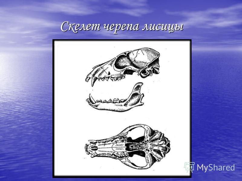 Скелет черепа лисицы