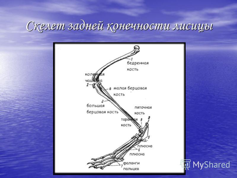 Скелет задней конечности лисицы