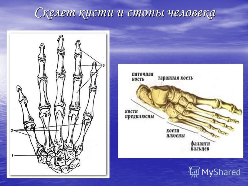 Скелет кисти и стопы человека