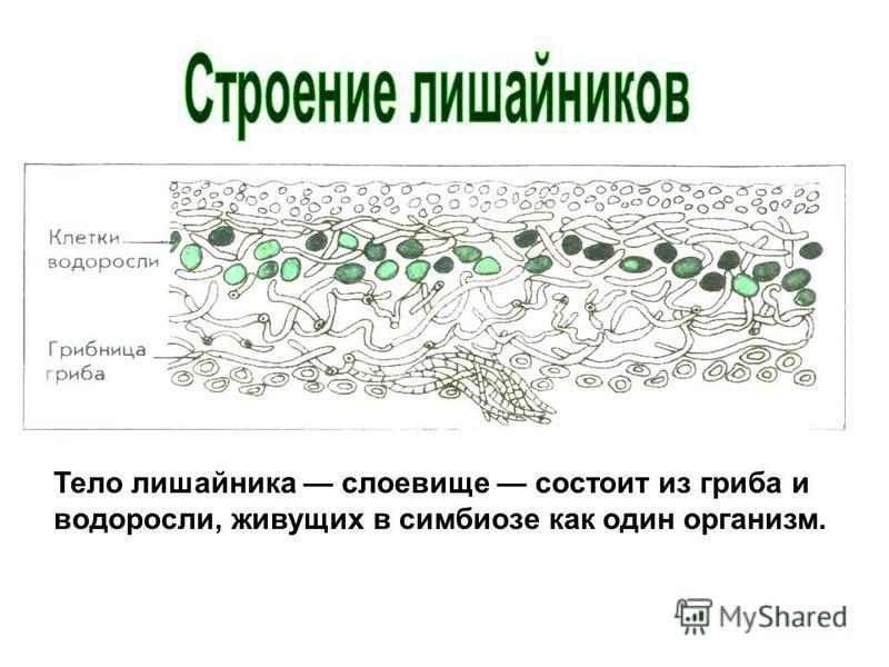 Тело лишайника слоевище состоит из гриба и водоросли, живущих в симбиозе как один организм.