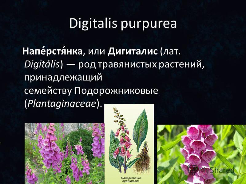 Digitalis purpurea Напе́рстя́нка, или Дигиталис (лат. Digitális) род травянистых растений, принадлежащий семейству Подорожниковые (Plantaginaceae).