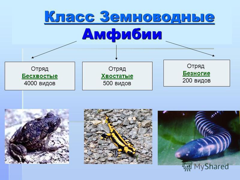 Класс Земноводные Амфибии Класс Земноводные Амфибии Класс Земноводные Класс Земноводные Отряд Бесхвостые 4000 видов Отряд Хвостатые 500 видов Отряд Безногие 200 видов