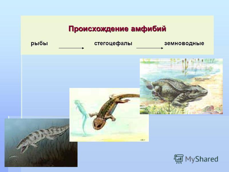 Происхождение амфибий рыбы стегоцефалы земноводные рыбы стегоцефалы земноводные
