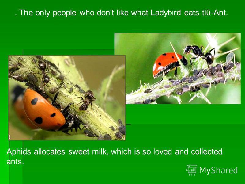 . The only people who don't like what Ladybird eats tlû-Ant. Aphids allocates sweet milk, which is so loved and collected ants.