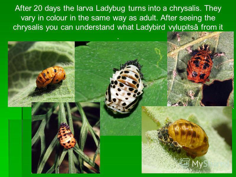 After 20 days the larva Ladybug turns into a chrysalis. They vary in colour in the same way as adult. After seeing the chrysalis you can understand what Ladybird vylupitsâ from it.