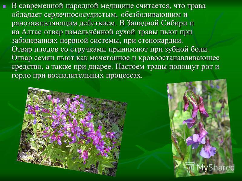 В современной народной медицине считается, что трава обладает сердечно сосудистым, обезболивающим и ранозаживляющим действием. В Западной Сибири и на Алтае отвар измельчённой сухой травы пьют при заболеваниях нервной системы, при стенокардии. Отвар п