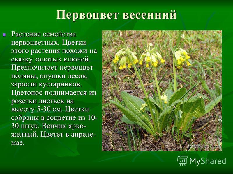 Первоцвет весенний Растение семейства первоцветных. Цветки этого растения похожи на связку золотых ключей. Предпочитает первоцвет поляны, опушки лесов, заросли кустарников. Цветонос поднимается из розетки листьев на высоту 5-30 см. Цветки собраны в с