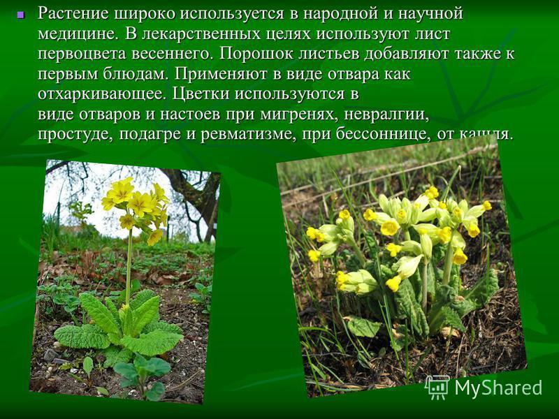 Растение широко используется в народной и научной медицине. В лекарственных целях используют лист первоцвета весеннего. Порошок листьев добавляют также к первым блюдам. Применяют в виде отвара как отхаркивающее. Цветки используются в виде отваров и н
