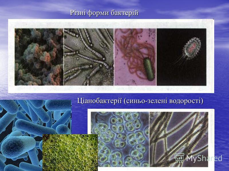 Ціанобактерії (синьо-зелені водорості) Різні форми бактерій