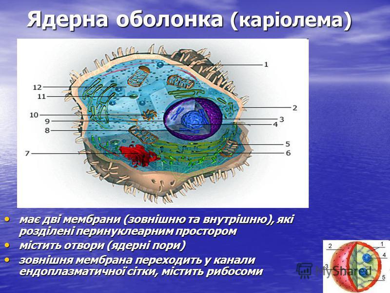 Ядерна оболонка (каріолема) має дві мембрани (зовнішню та внутрішню), які розділені перинуклеарним простором має дві мембрани (зовнішню та внутрішню), які розділені перинуклеарним простором містить отвори (ядерні пори) містить отвори (ядерні пори) зо
