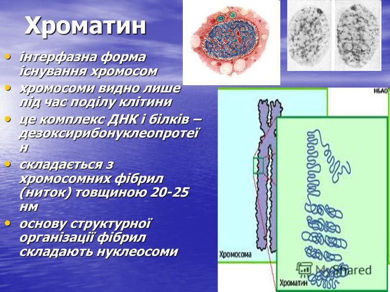 Хроматин Хроматин інтерфазна форма існування хромосом інтерфазна форма існування хромосом хромосоми видно лише під час поділу клітини хромосоми видно лише під час поділу клітини це комплекс ДНК і білків – дезоксирибонуклеопротеї н це комплекс ДНК і б