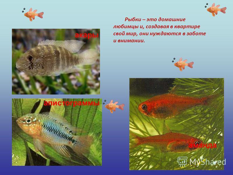 акары аманда апистограммы Рыбки – это домашние любимцы и, создавая в квартире свой мир, они нуждаются в заботе и внимании.