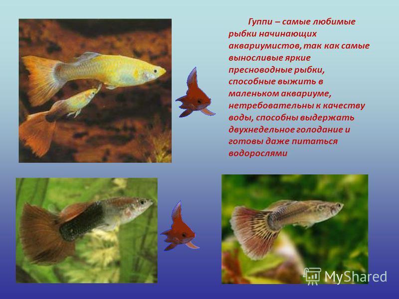 Гуппи – самые любимые рыбки начинающих аквариумистов, так как самые выносливые яркие пресноводные рыбки, способные выжить в маленьком аквариуме, нетребовательны к качеству воды, способны выдержать двухнедельное голодание и готовы даже питаться водоро