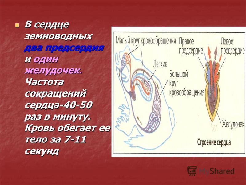 В сердце земноводных два предсердия и один желудочек. Частота сокращений сердца-40-50 раз в минуту. Кровь обегает ее тело за 7-11 секунд В сердце земноводных два предсердия и один желудочек. Частота сокращений сердца-40-50 раз в минуту. Кровь обегает